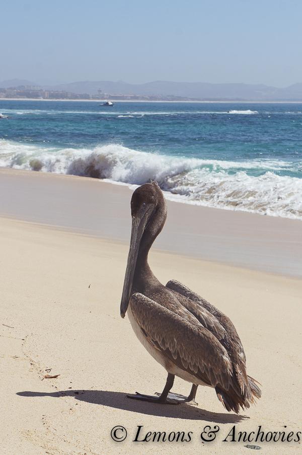 Pelican: Los Cabos, Mexico | https://lemonsandanchovies.com