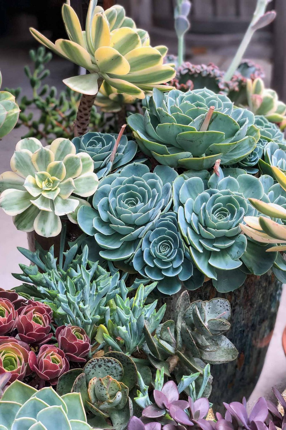 How to Care for Echeveria Imbricata (and other Succulents)