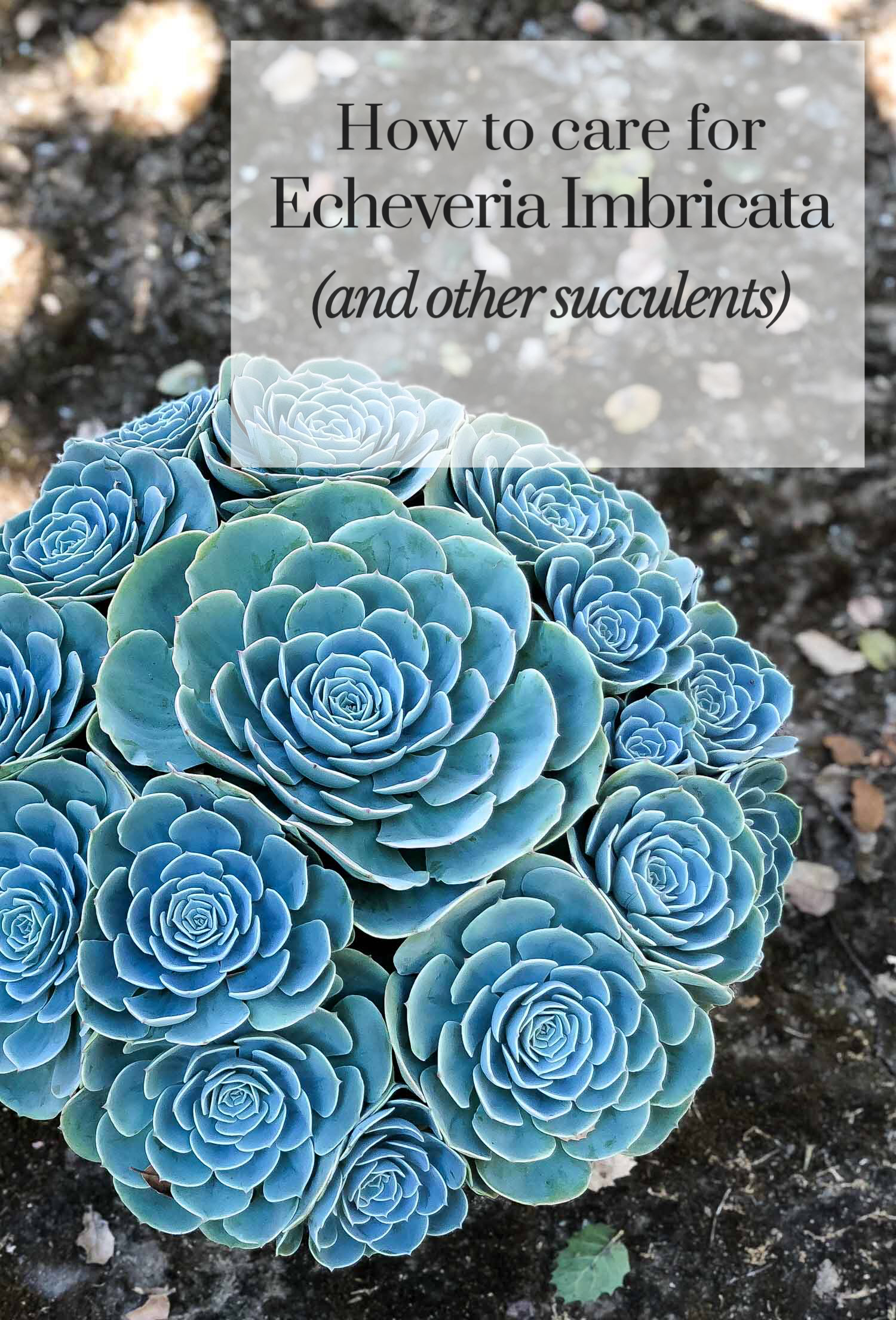 How To Care For Echeveria Imbricata And Other Succulents
