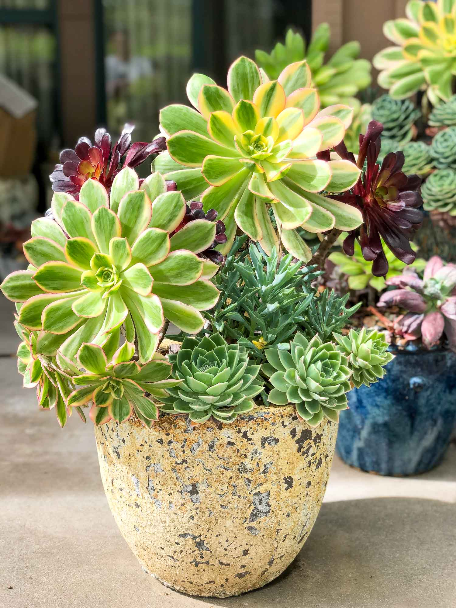 How To Care For Aeoniums Lemons Anchovies